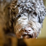 Henry the Portuguese Water Dog
